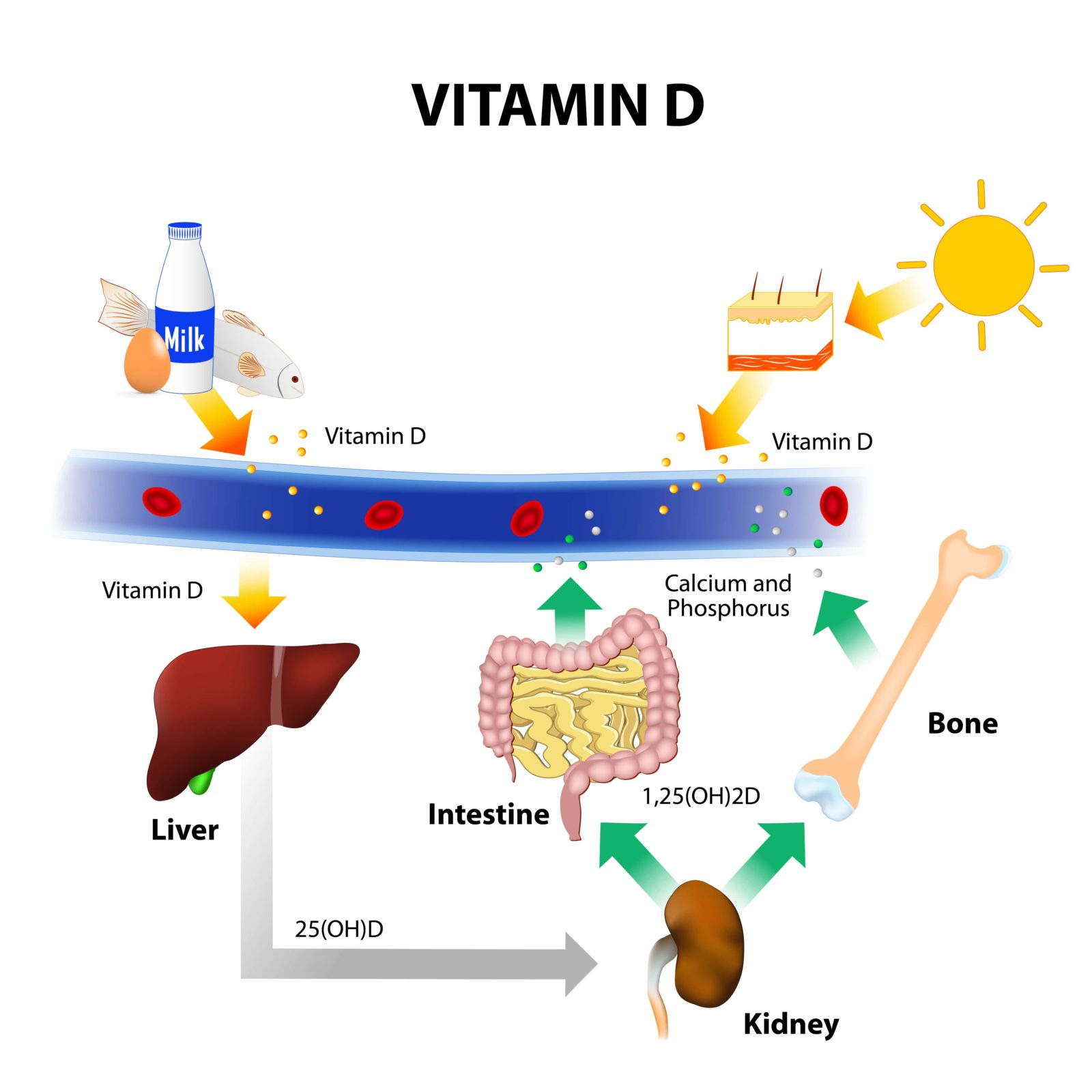 diagram showing how the body absorbs vitamin D