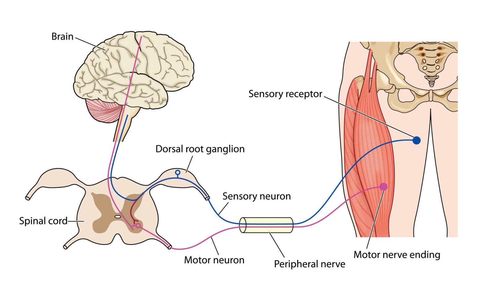 diagram of a nerve signal