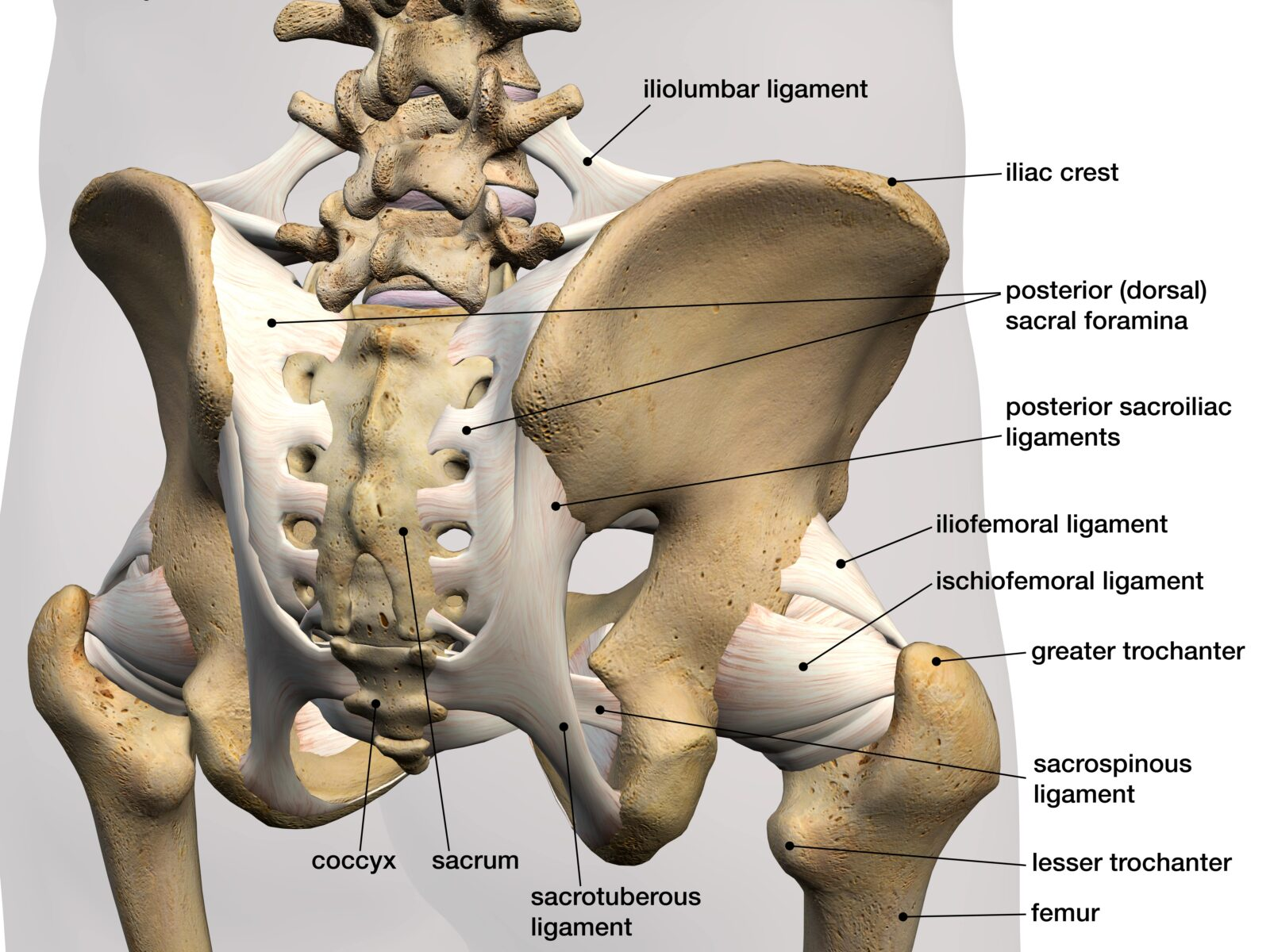 ligaments attached to tailbone and pelvic bones